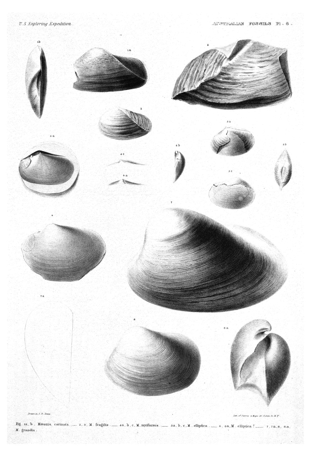 Australian Fossils, Plate 6,  Image number:Sil19-15-012