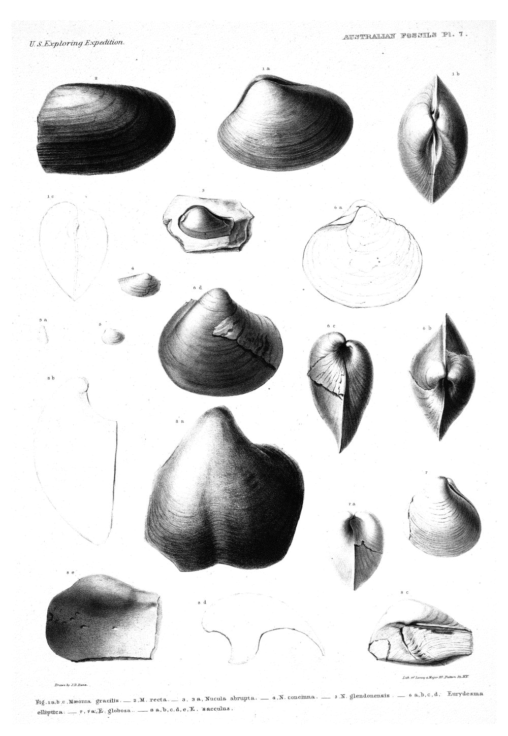 Australian Fossils, Plate 7,  Image number:Sil19-15-013