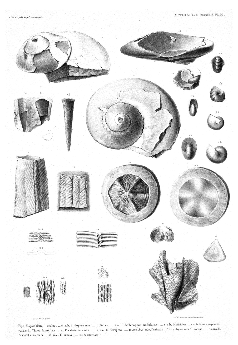 Australian Fossils, Plate 10,  Image number:Sil19-15-016