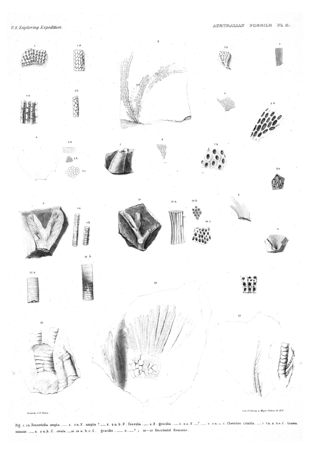 Australian Fossils, Plate 11,  Image number:Sil19-15-017