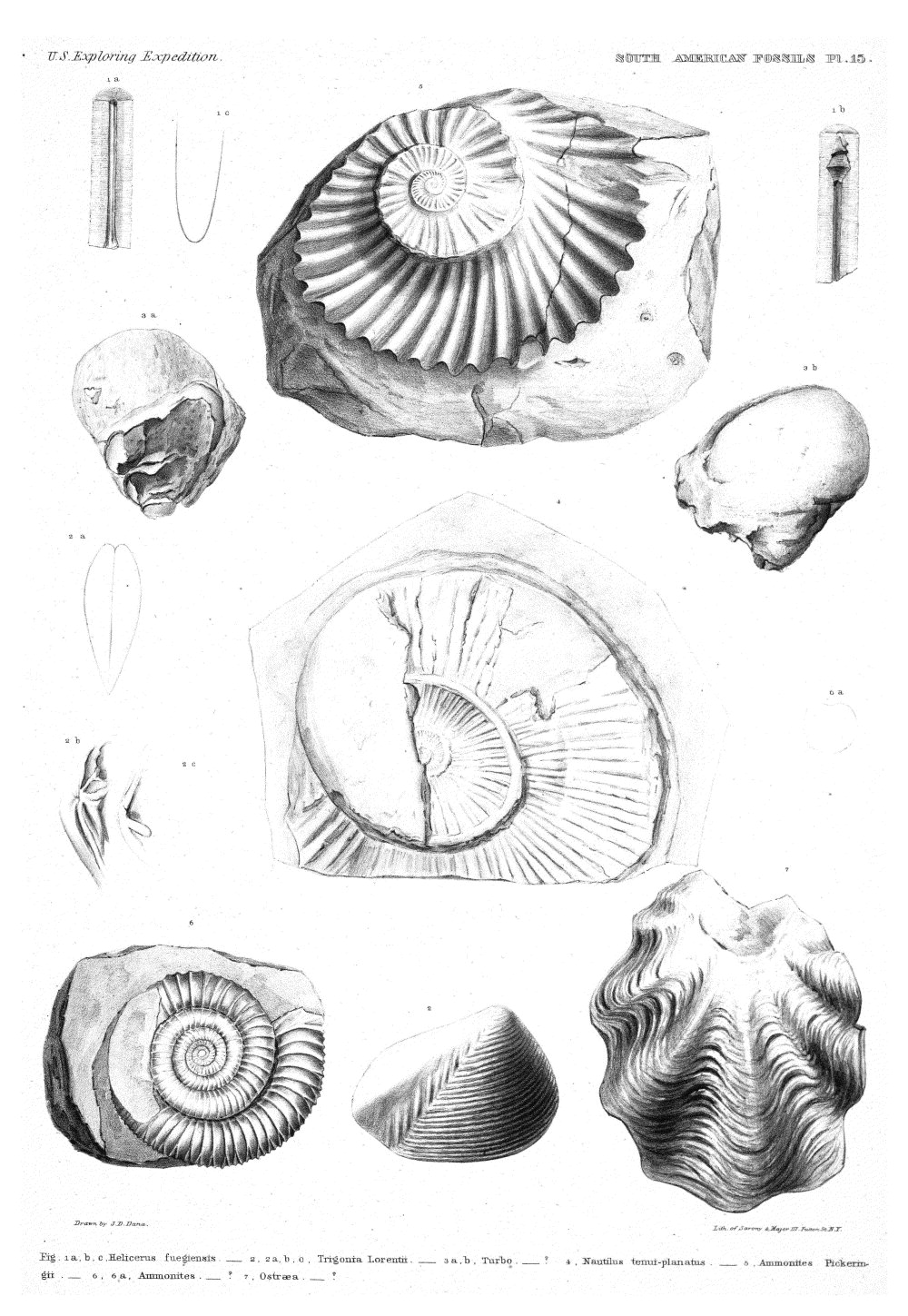 South American Fossils, Plate 15,  Image number:Sil19-15-021
