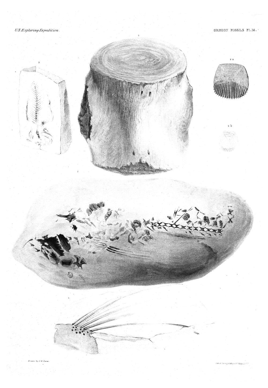 Oregon Fossils, Plate 16,  Image number:Sil19-15-022