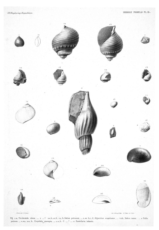 Oregon Fossils, Plate 19,  Image number:Sil19-15-025
