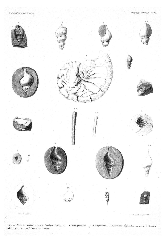 Oregon Fossils, Plate 20,  Image number:Sil19-15-026