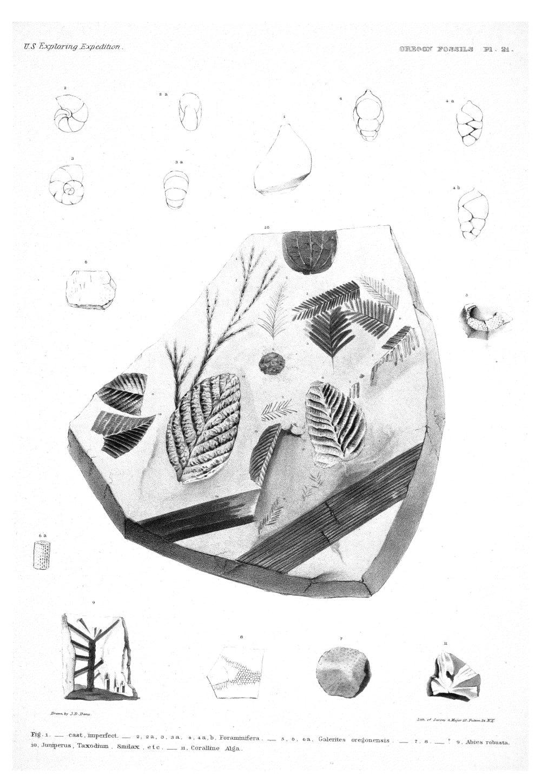 Oregon Fossils, Plate 21,  Image number:Sil19-15-027