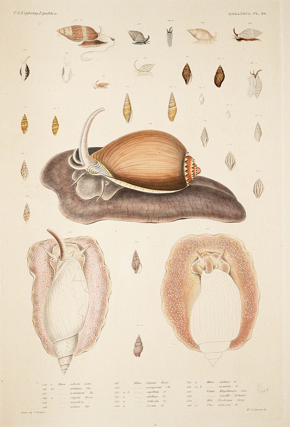 Mollusca, Pl. 20,  Image number:sil19-18-061b