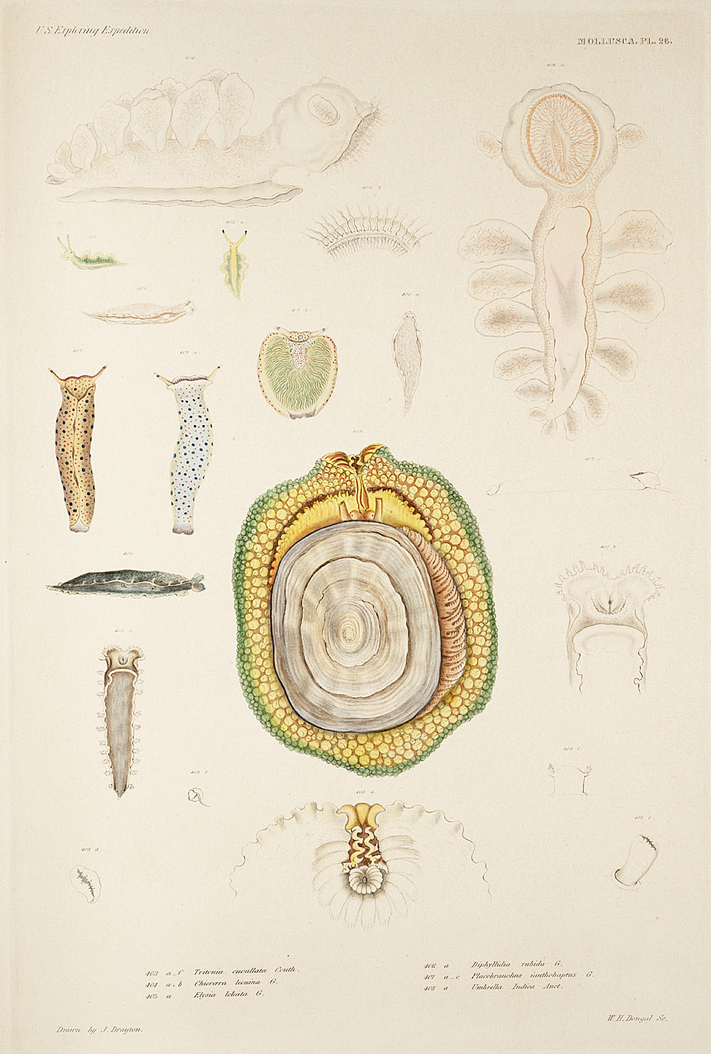 Mollusca, Pl. 26,  Image number:sil19-18-073b