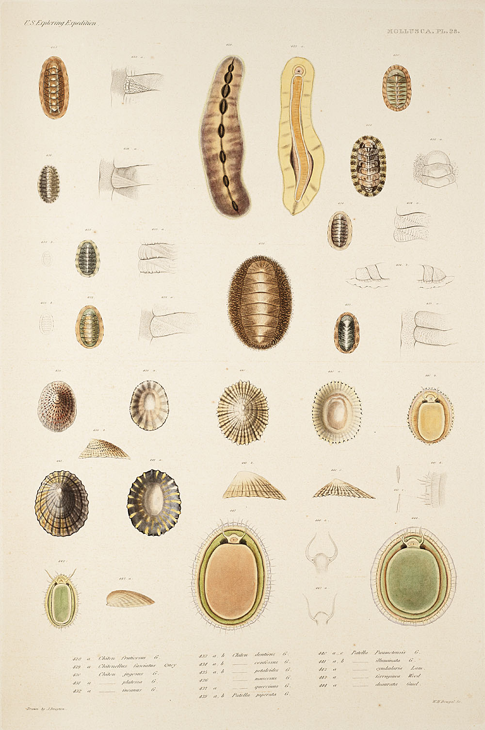 Mollusca, Pl. 28,  Image number:sil19-18-077b