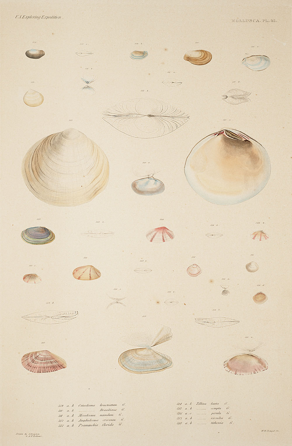 Mollusca, Pl. 35,  Image number:sil19-18-091b