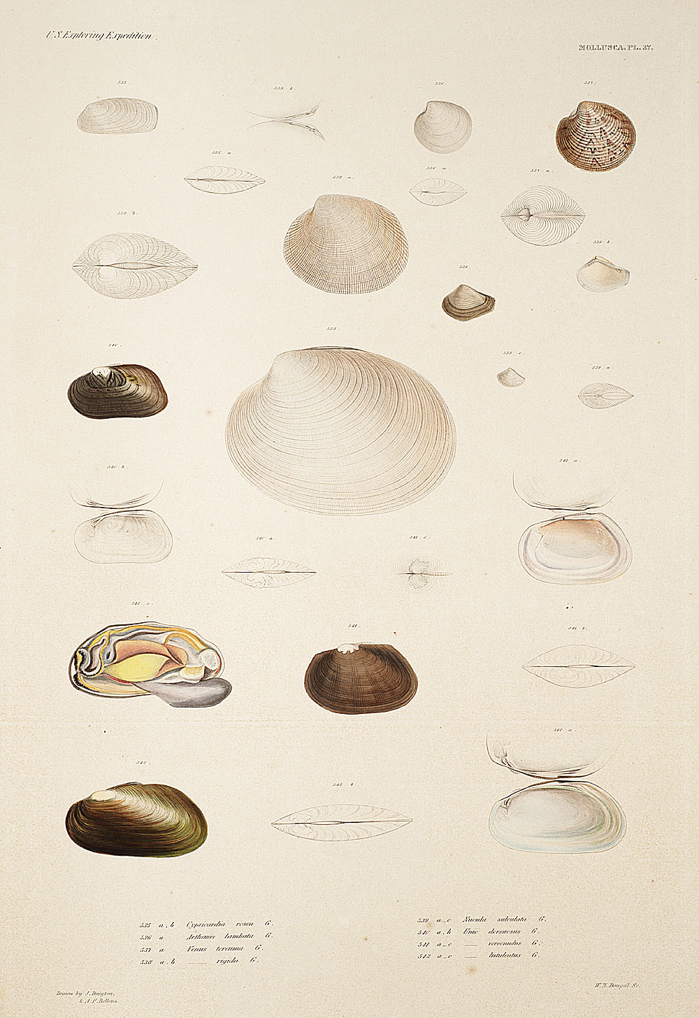 Mollusca, Pl. 37,  Image number:sil19-18-095b