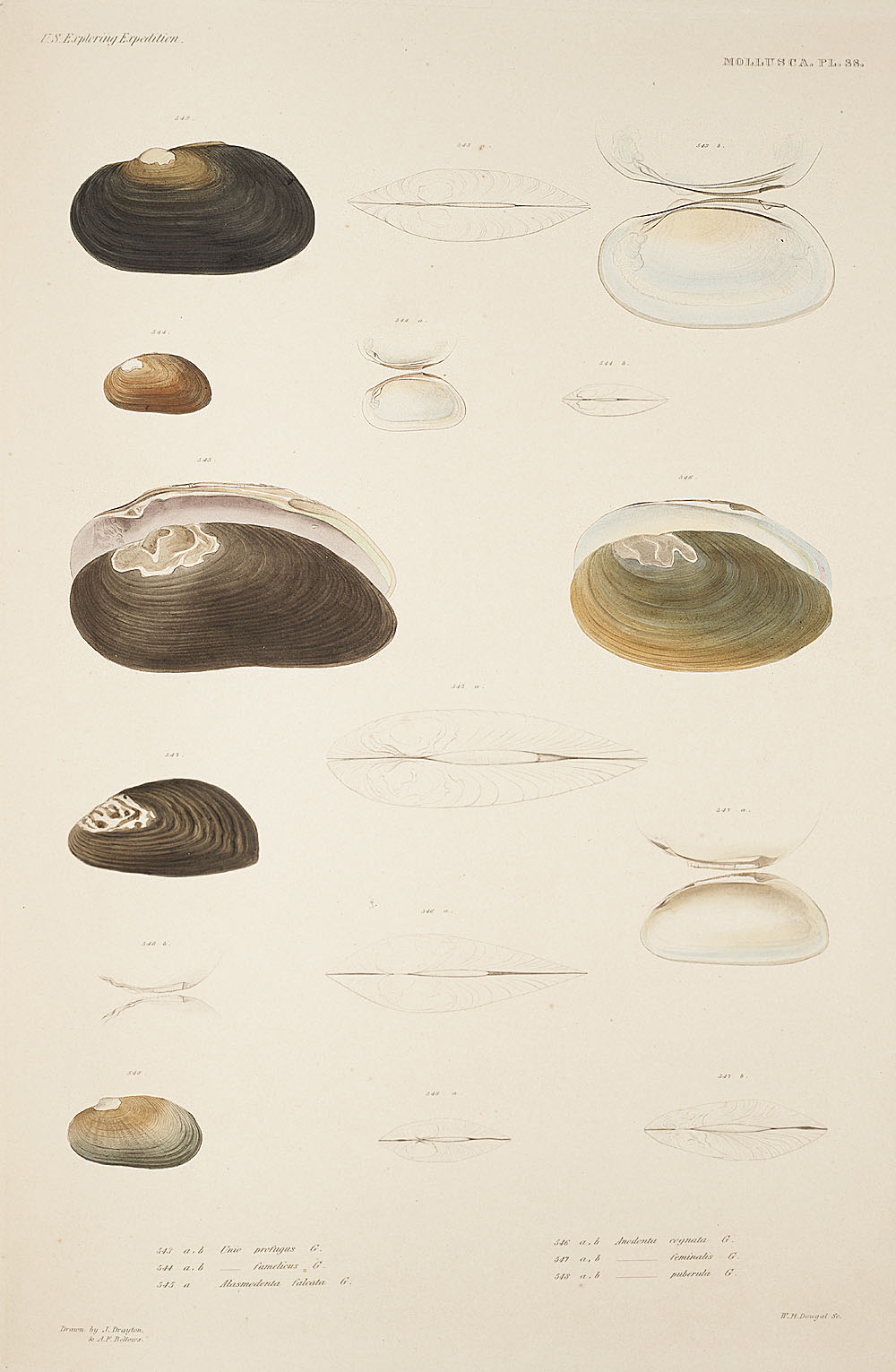 Mollusca, Pl. 38,  Image number:sil19-18-097b