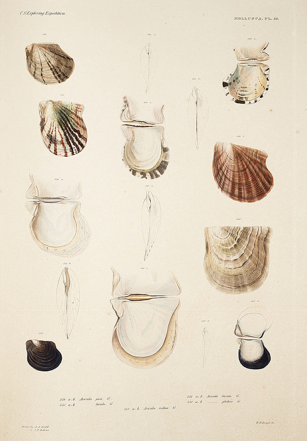Mollusca, Pl. 39,  Image number:sil19-18-099b