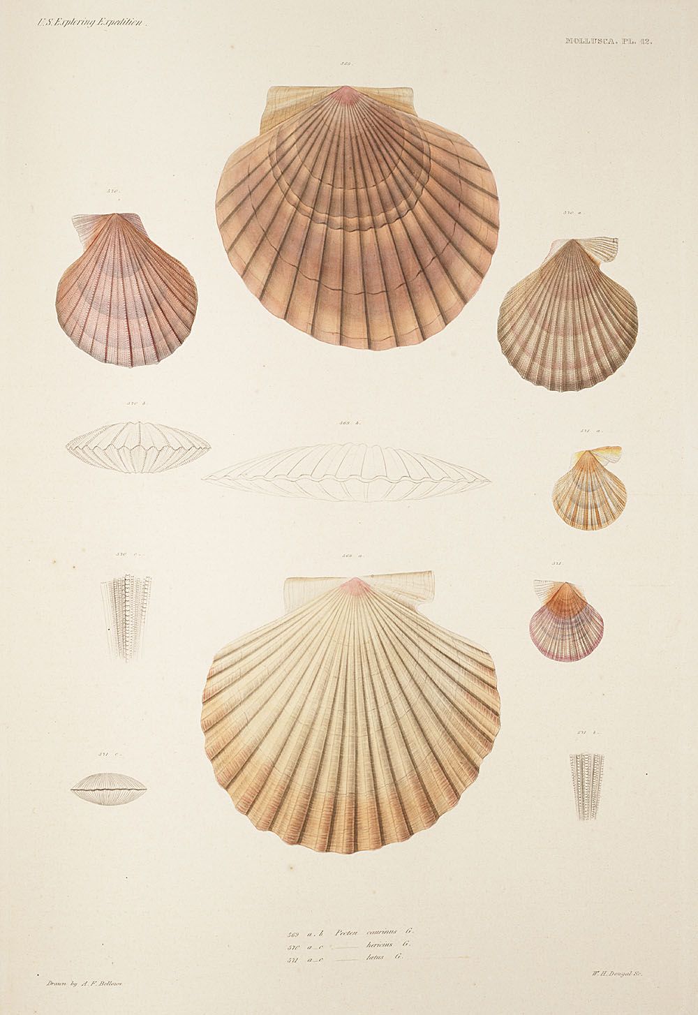 Mollusca, Pl. 42,  Image number:sil19-18-105b