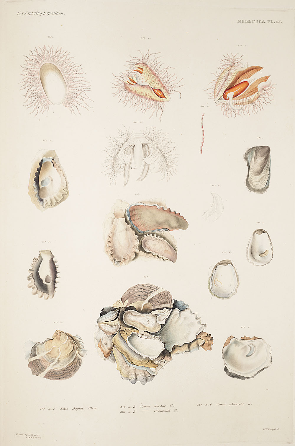 Mollusca, Pl. 43,  Image number:sil19-18-107b