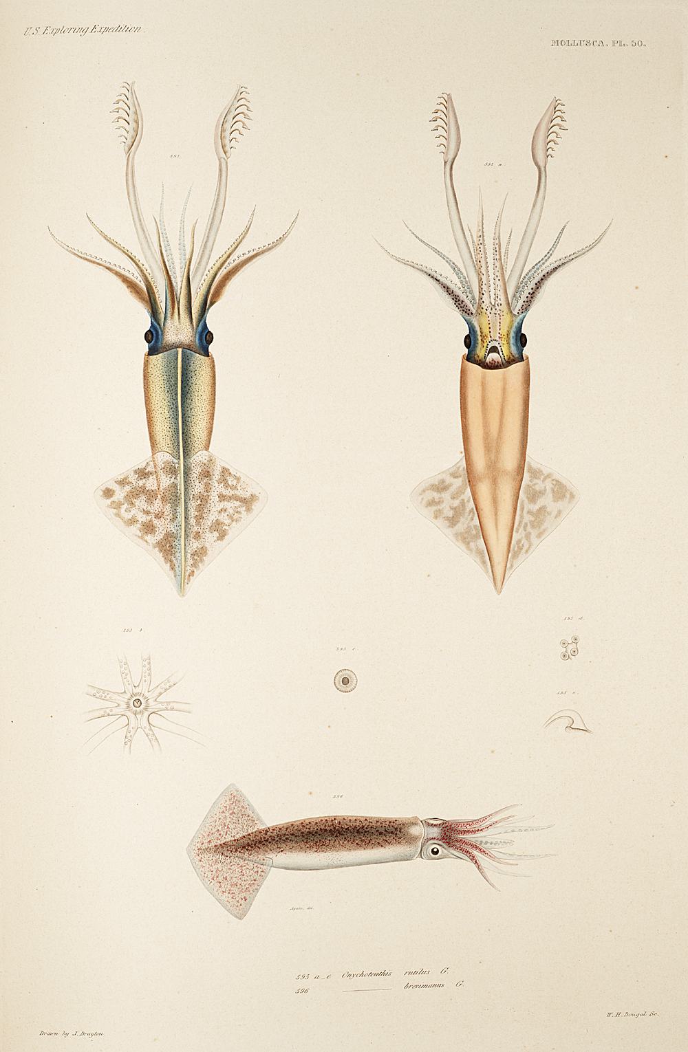 Mollusca, Pl. 50,  Image number:sil19-18-121b