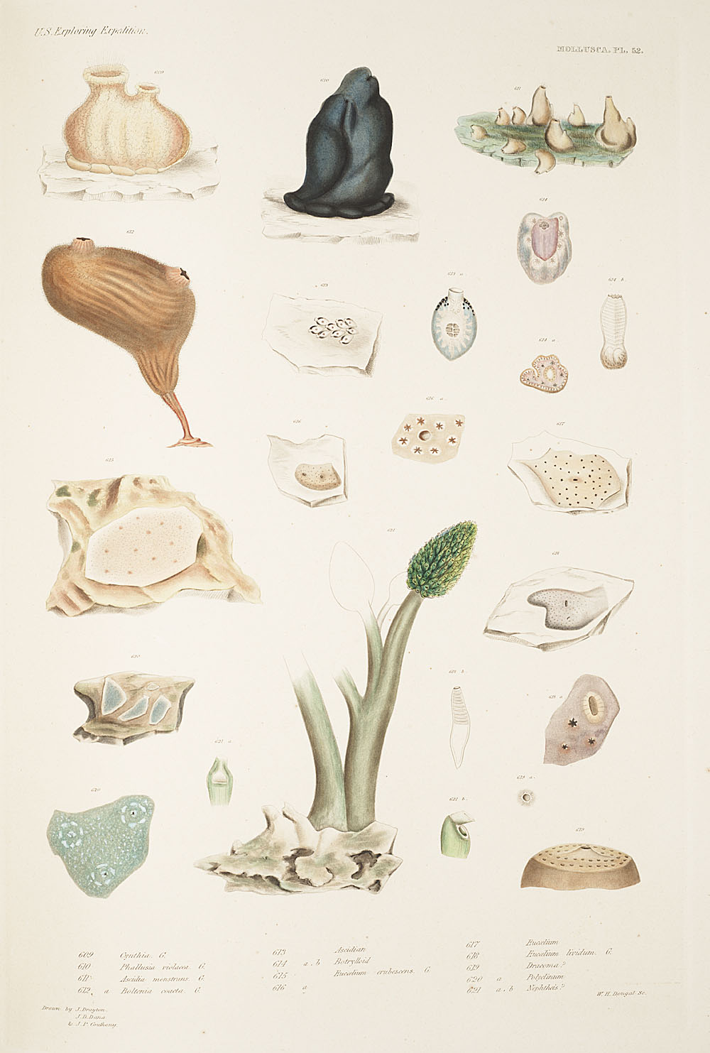 Mollusca, Pl. 52,  Image number:sil19-18-125b