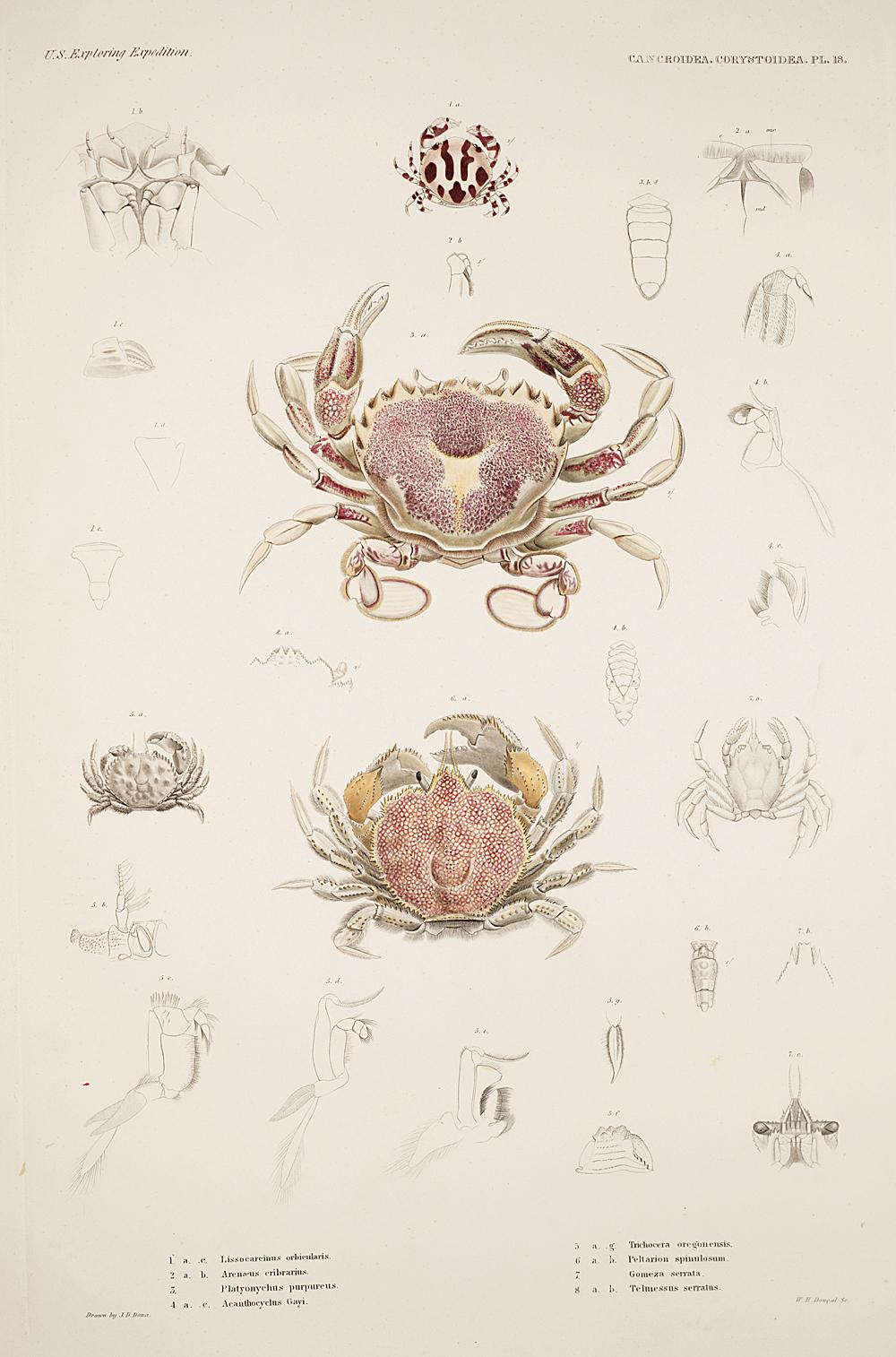 Cancroidea. Corysoidea. Pl. 18,  Image number:SIL19-21-069b