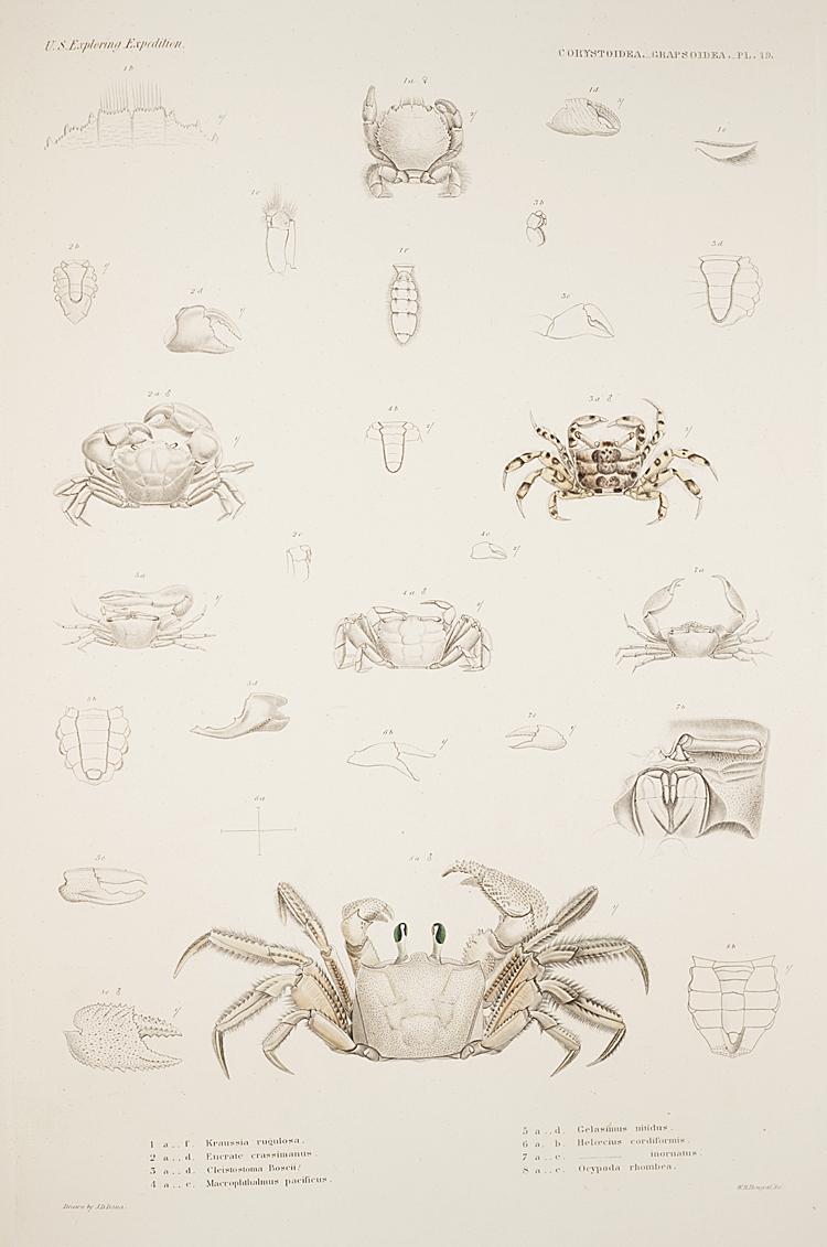 Cancroidea. Grapstoidea. Pl. 19,  Image number:SIL19-21-071b