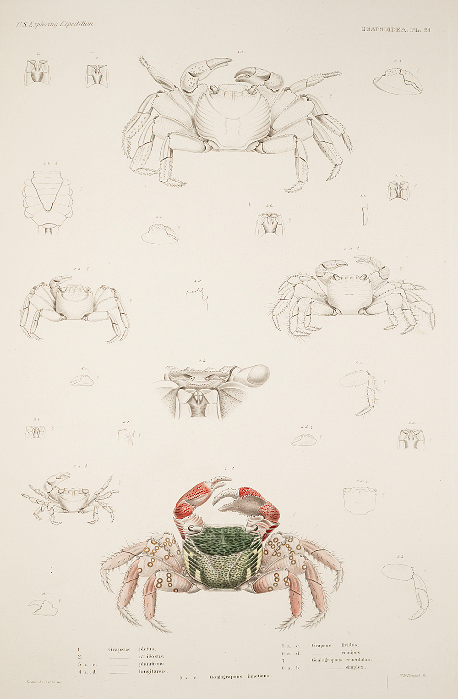 Grapstoidea. Pl. 21,  Image number:SIL19-21-075b