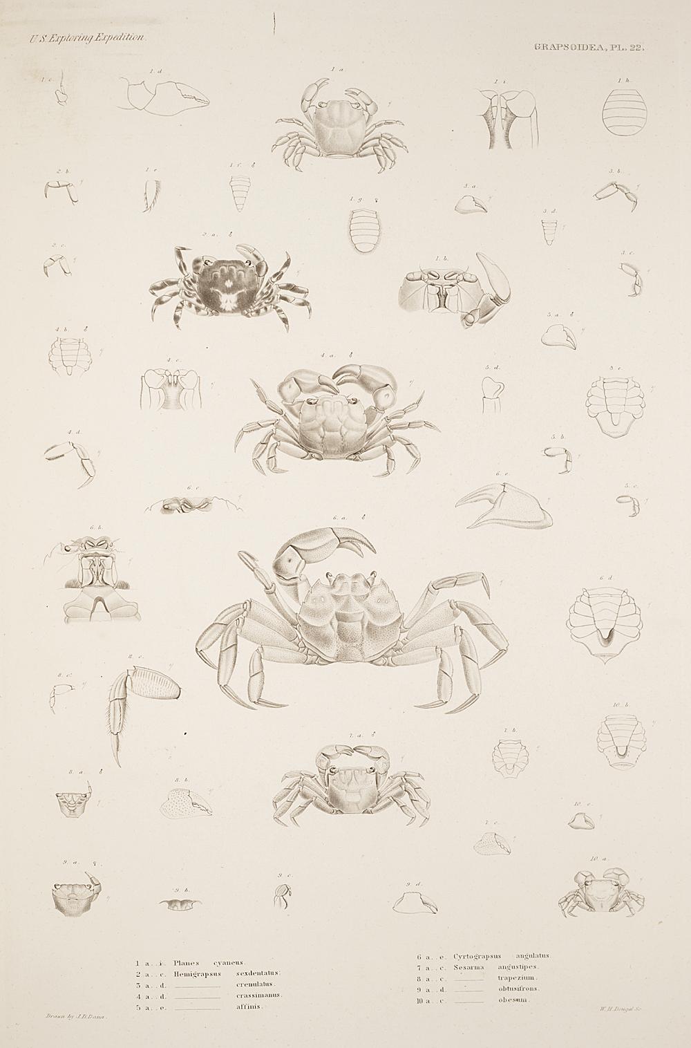 Grapstoidea. Pl. 22,  Image number:SIL19-21-077b