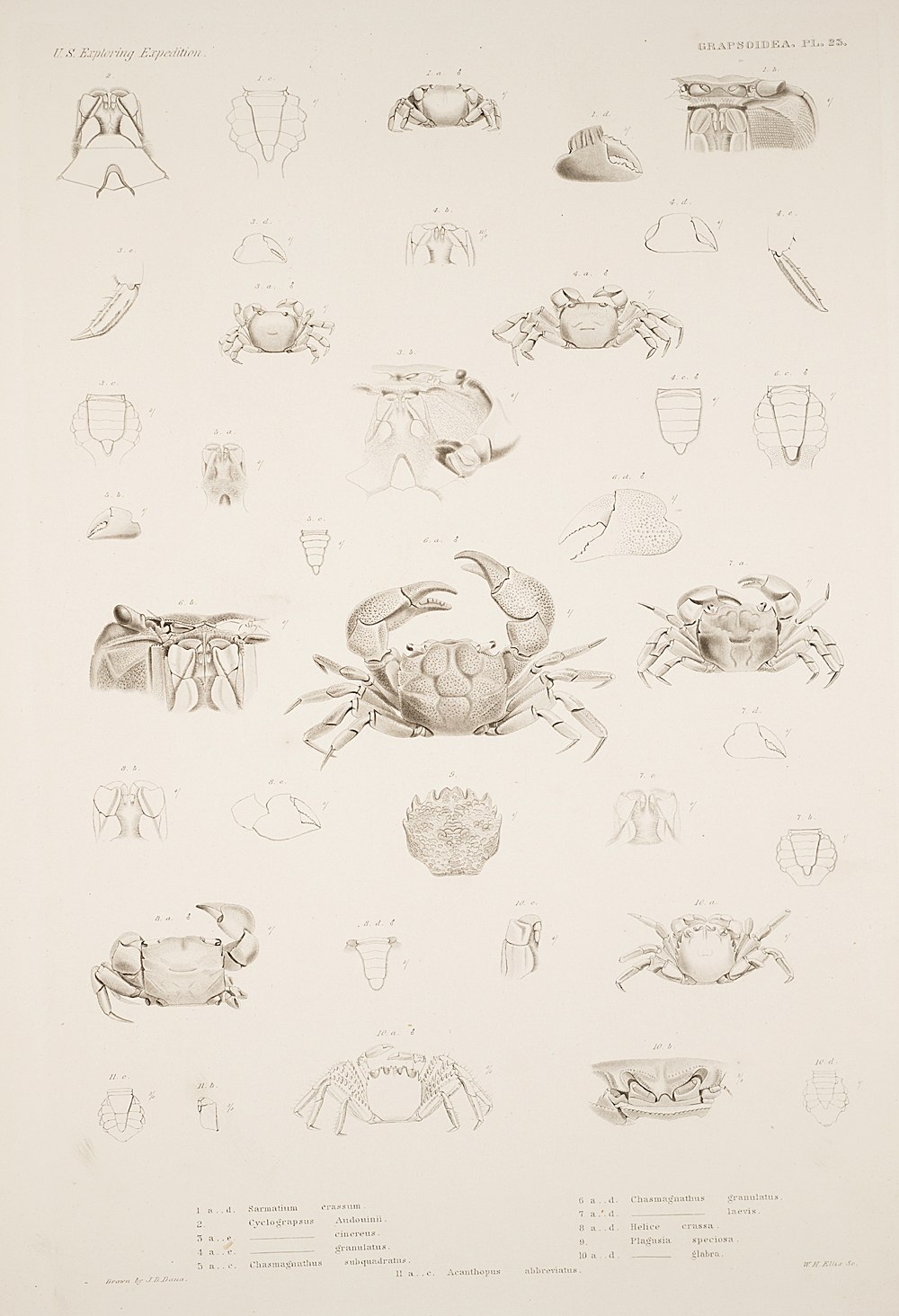 Grapstoidea. Pl. 23,  Image number:SIL19-21-079b