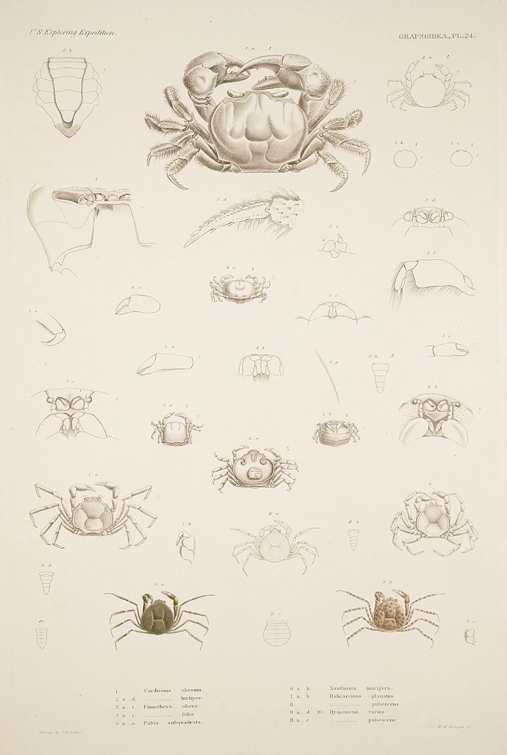 Grapstoidea. Pl. 24,  Image number:SIL19-21-081b