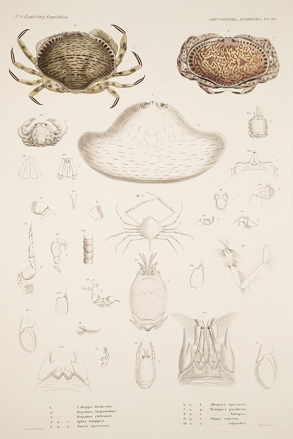 Leucosoidea. Anomoura. Pl. 25,  Image number:SIL19-21-083b