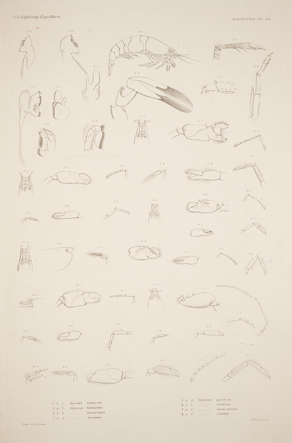 Macroura. Pl. 34,  Image number:SIL19-21-101b