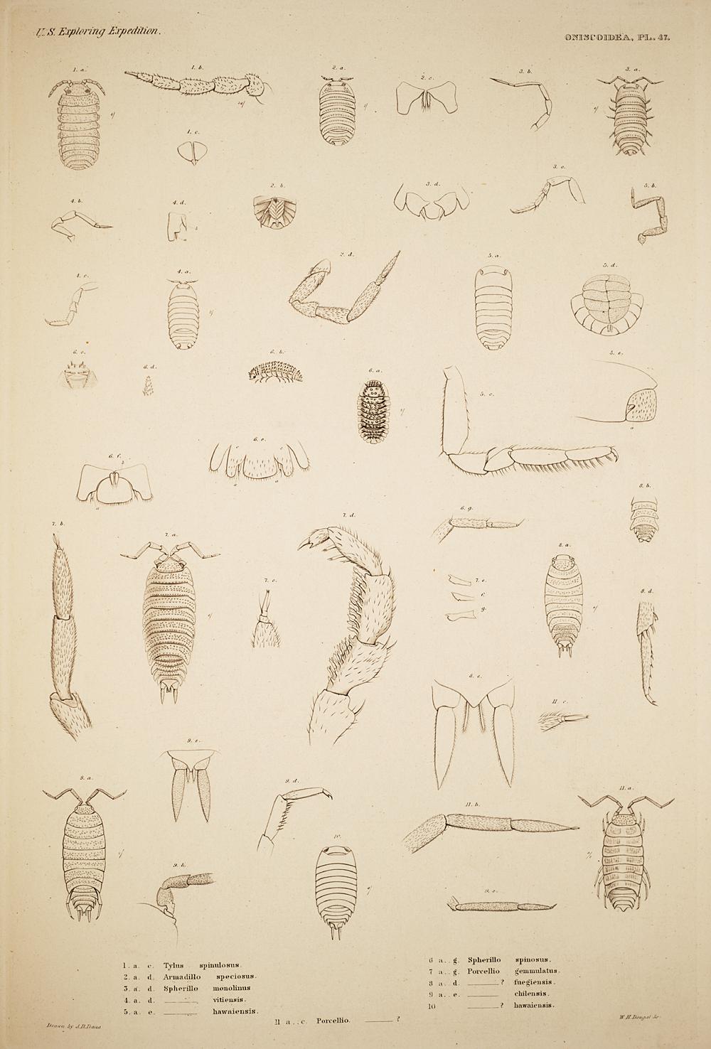 Oniscoidea. Pl. 47,  Image number:SIL19-21-127b