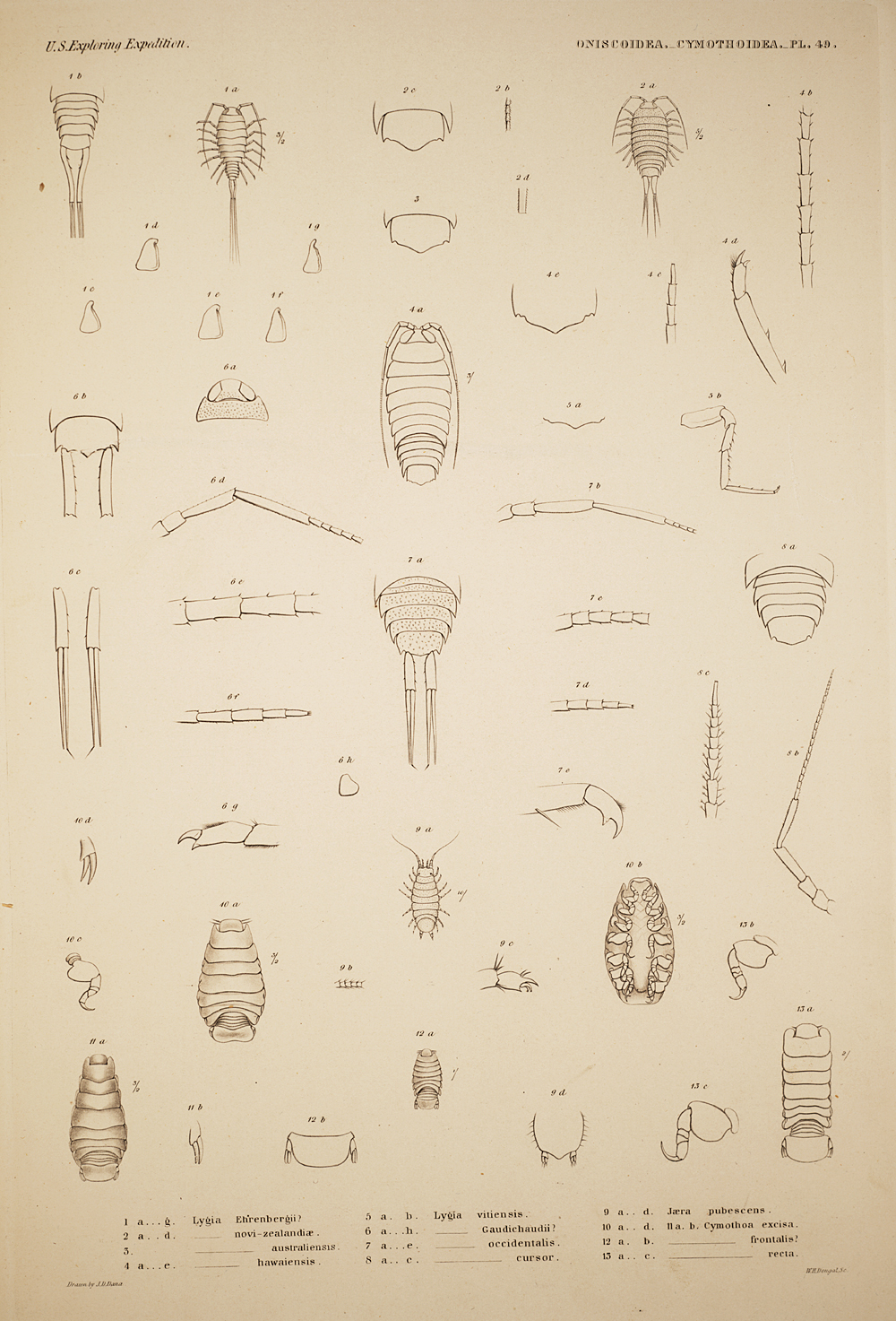 Oniscoidea. Cymothoidea. Pl. 49,  Image number:SIL19-21-131b