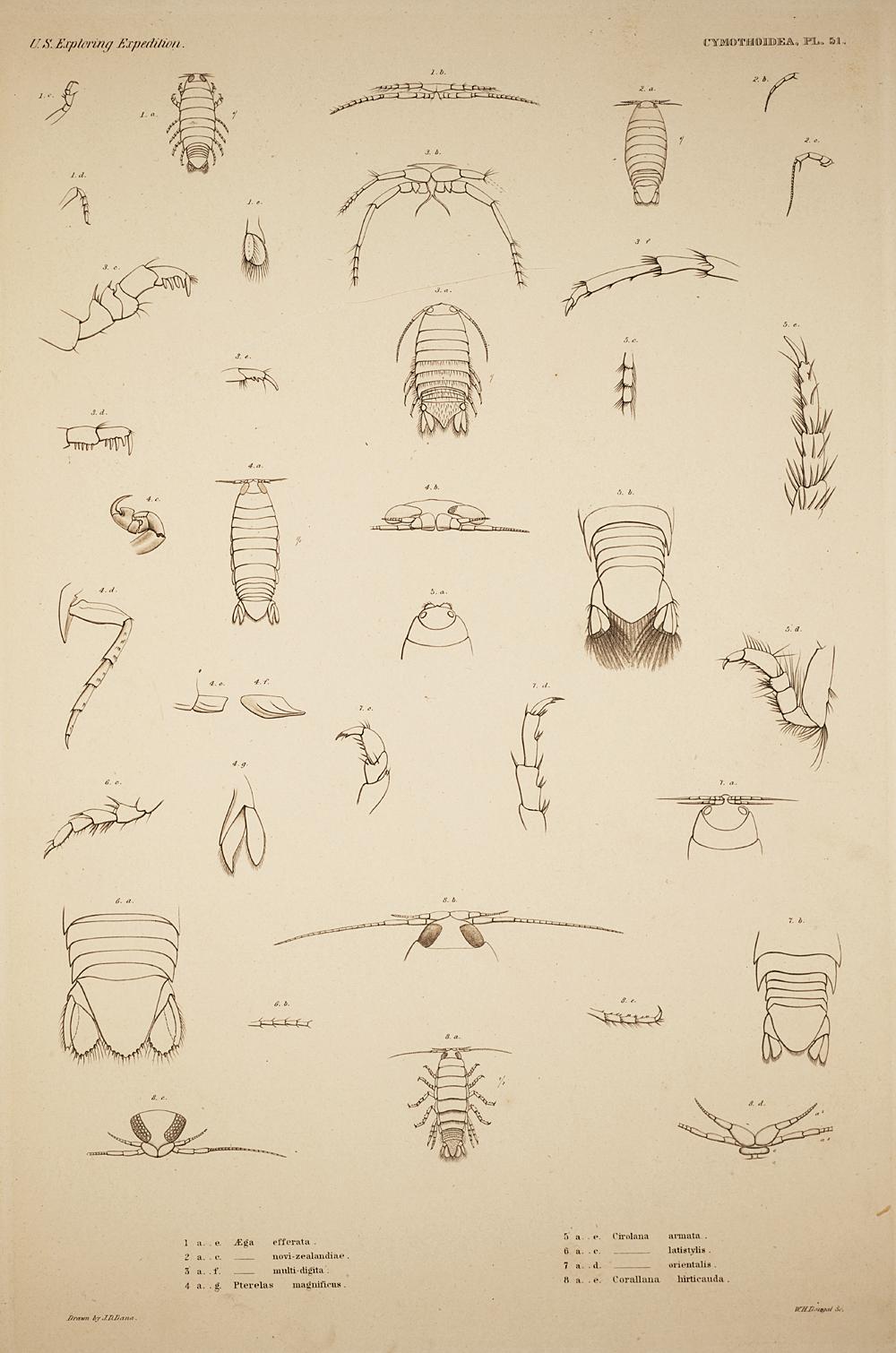 Cymothoidea. Pl. 51,  Image number:SIL19-21-135b