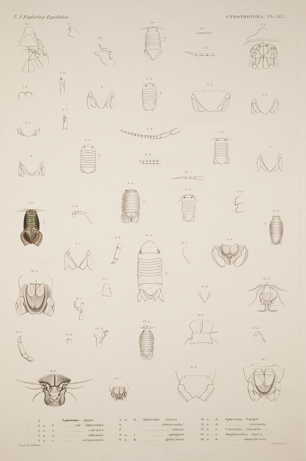 Cymothoidea. Pl. 52,  Image number:SIL19-21-137b
