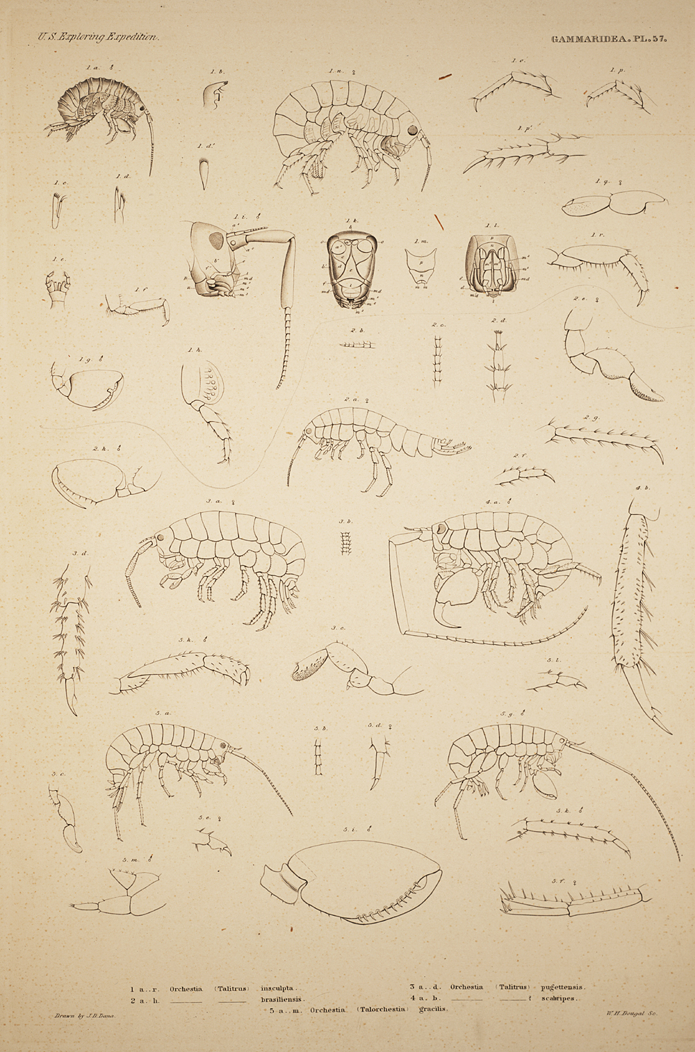Gammaridea. Pl. 57,  Image number:SIL19-21-147b