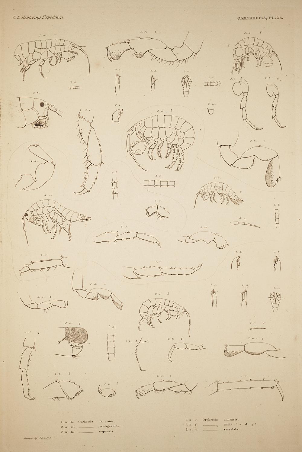 Gammaridea. Pl. 58,  Image number:SIL19-21-149b