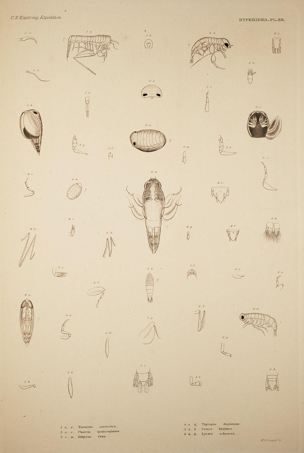 Hyperidea. Pl. 69,  Image number:SIL19-21-171b