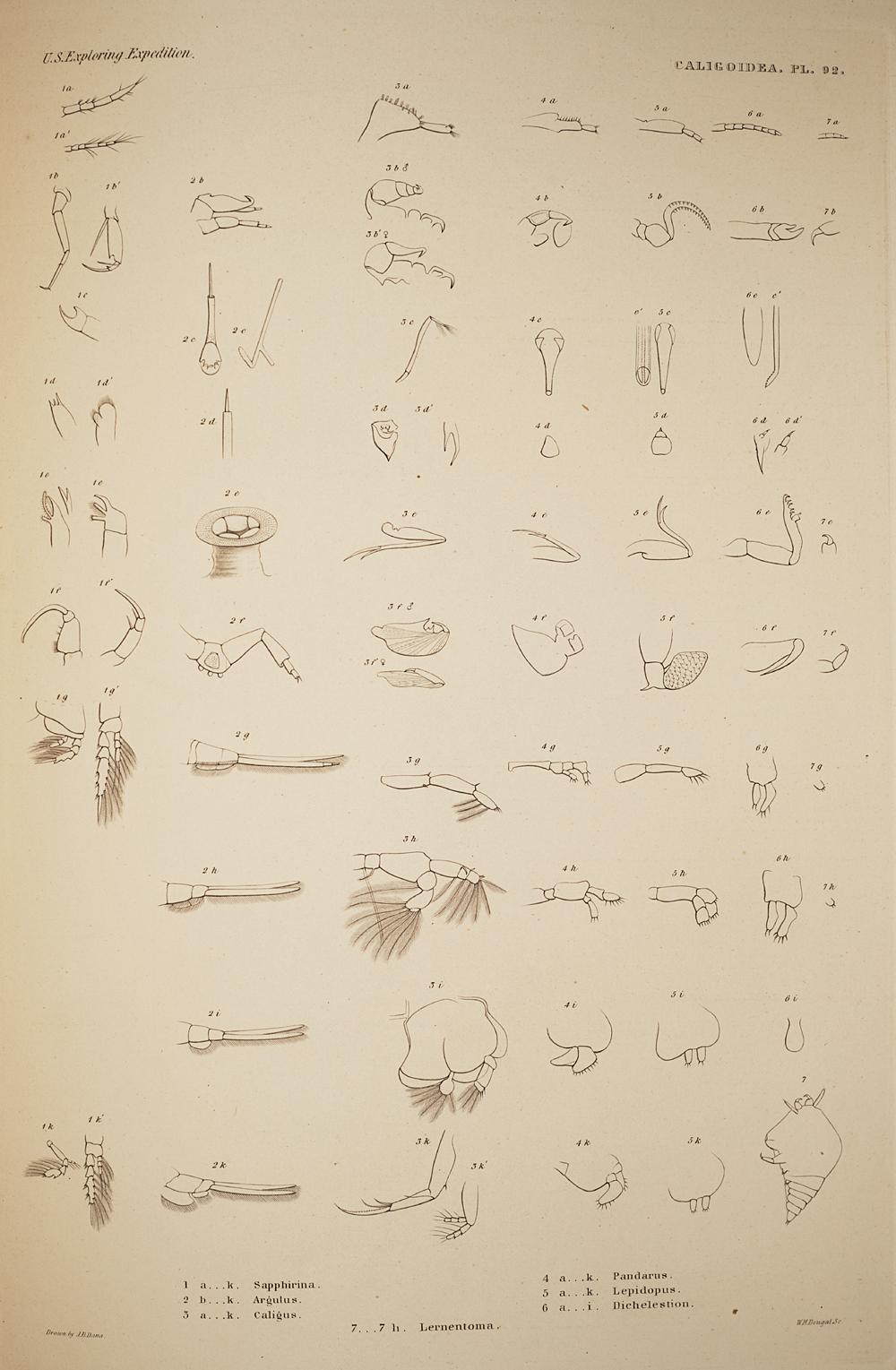Caligoidea. Pl. 92,  Image number:SIL19-21-217b