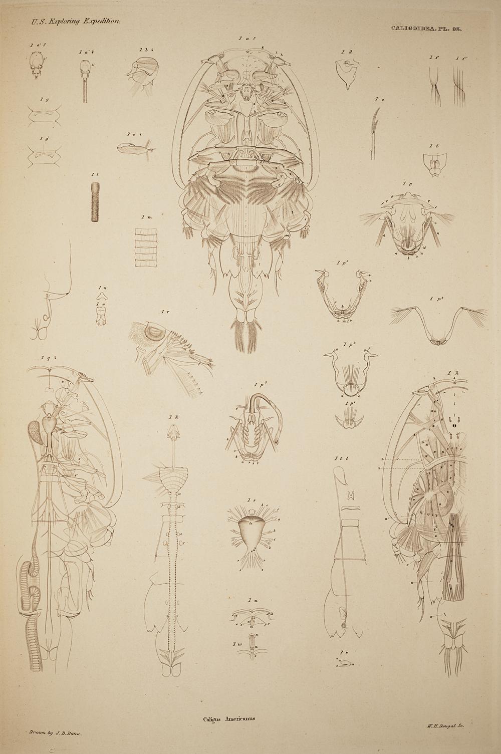 Caligoidea. Pl. 93,  Image number:SIL19-21-219b