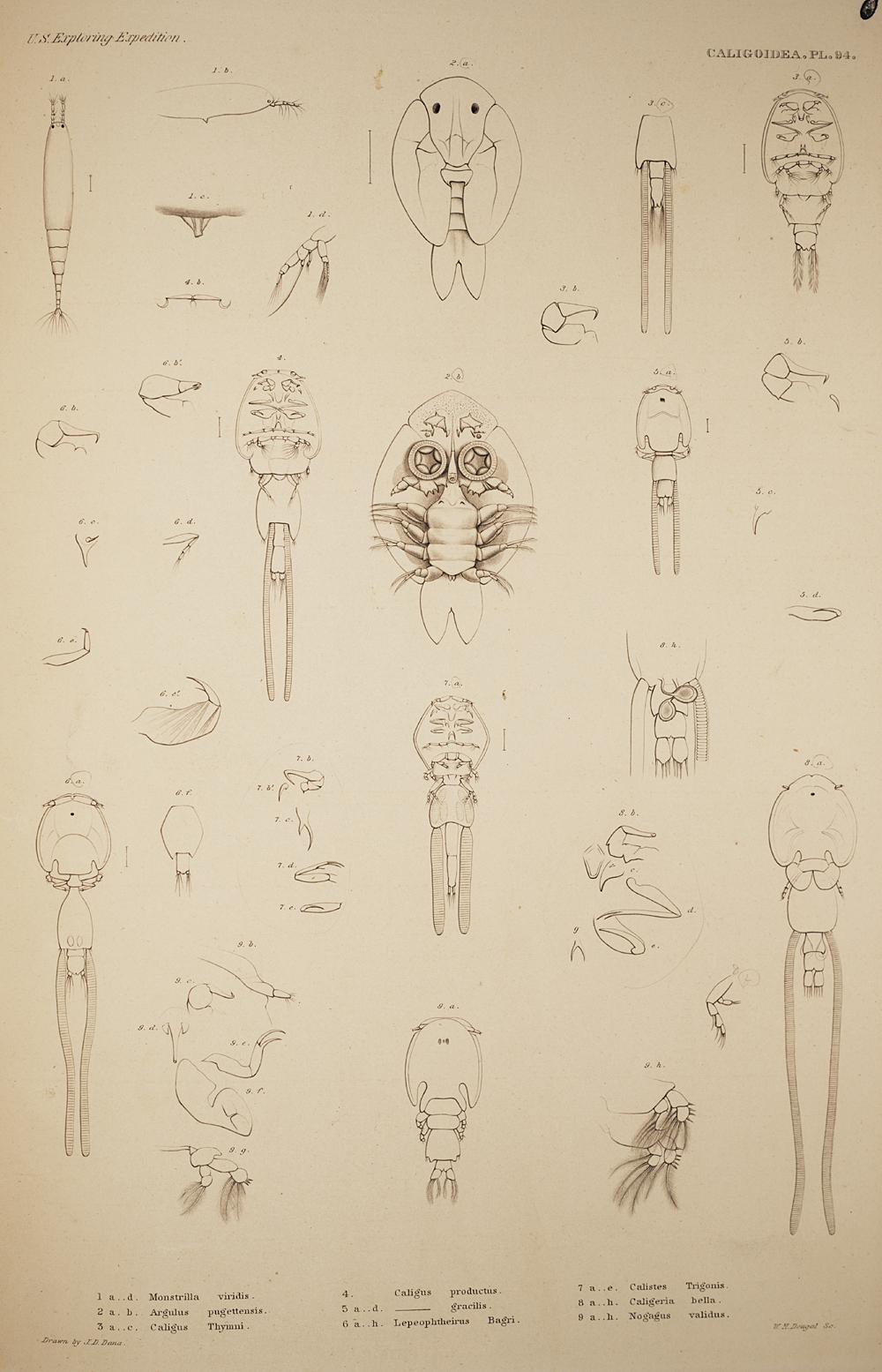 Caligoidea. Pl. 94,  Image number:SIL19-21-221b
