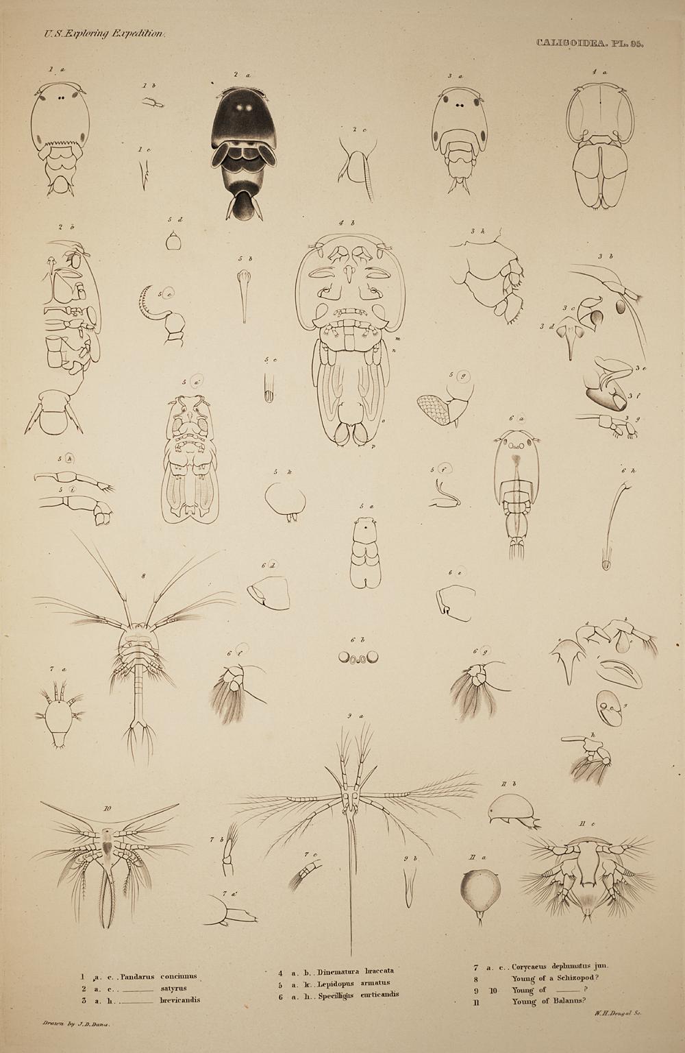 Caligoidea. Pl. 95,  Image number:SIL19-21-223b