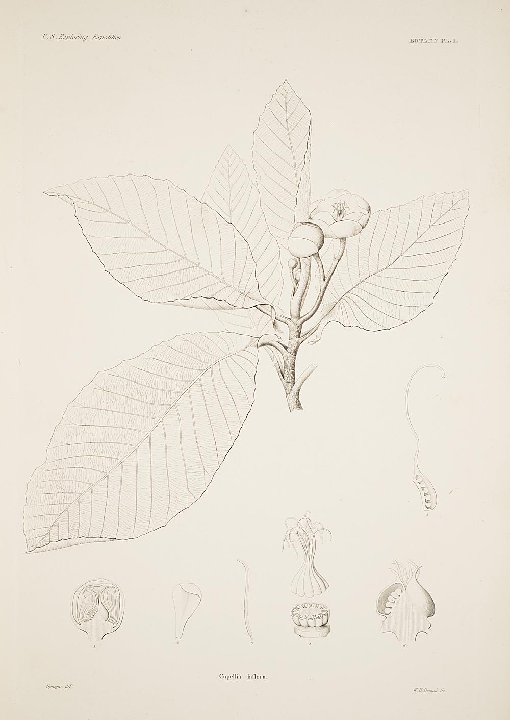 Botany, Pl. 1,  Image number:sil19-23-013b