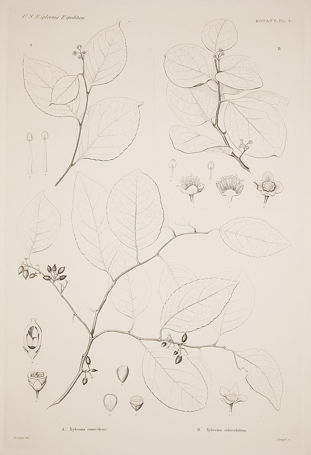 Botany, Pl. 4,  Image number:sil19-23-019b