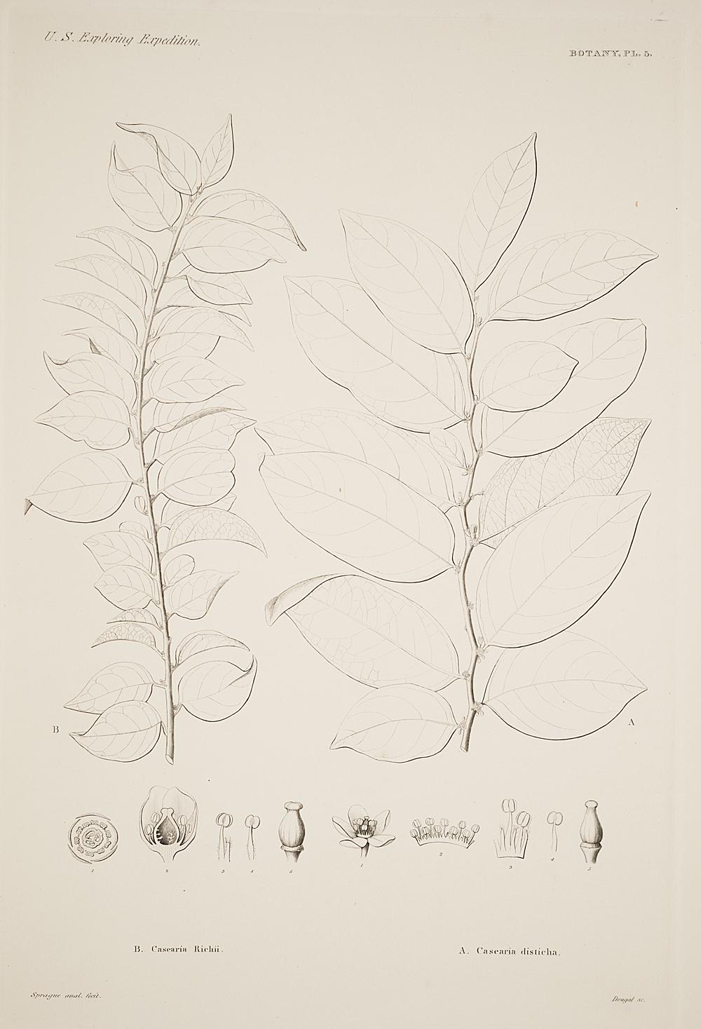 Botany, Pl. 5,  Image number:sil19-23-021b