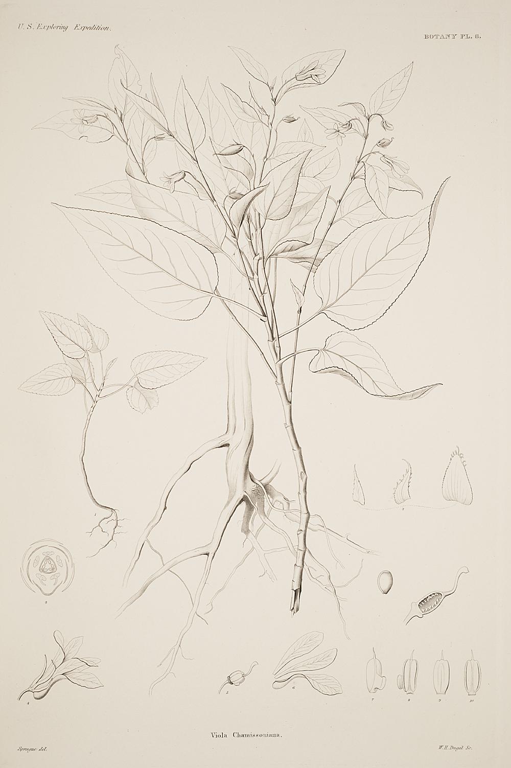 Botany, Pl. 6,  Image number:sil19-23-023b