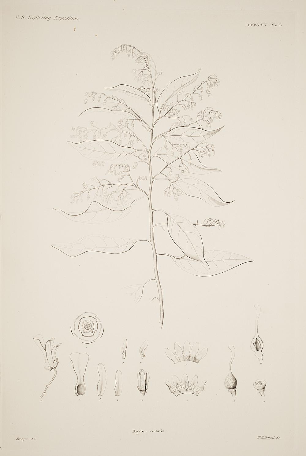 Botany, Pl. 7,  Image number:sil19-23-025b