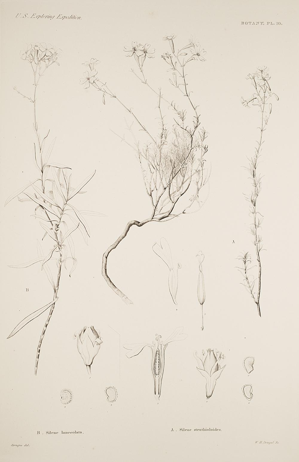 Botany, Pl. 10,  Image number:sil19-23-031b