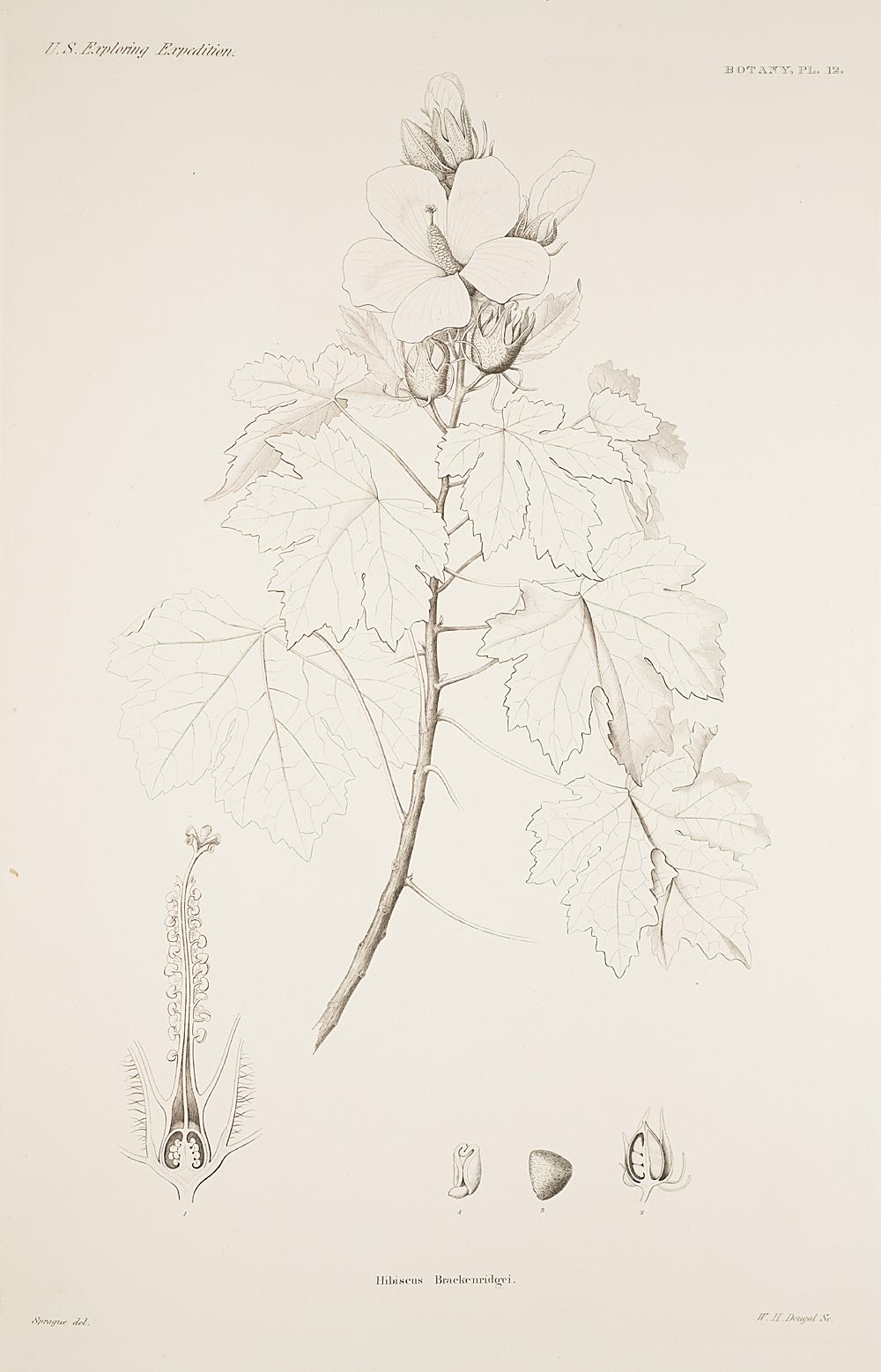 Botany, Pl. 12,  Image number:sil19-23-035b
