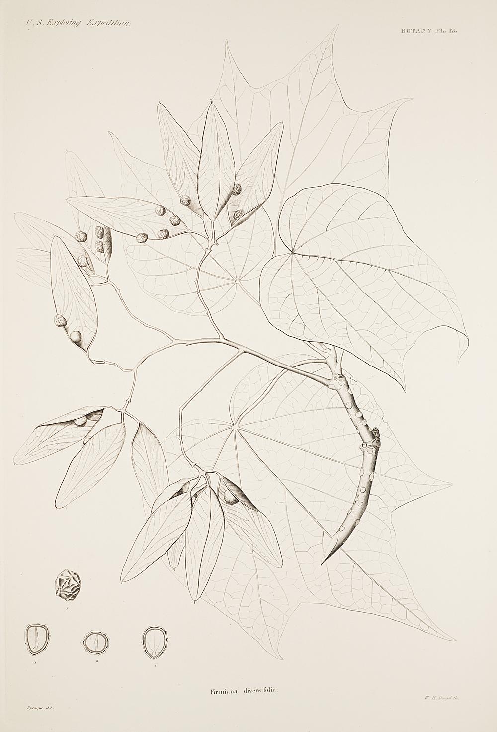 Botany, Pl. 13,  Image number:sil19-23-037b