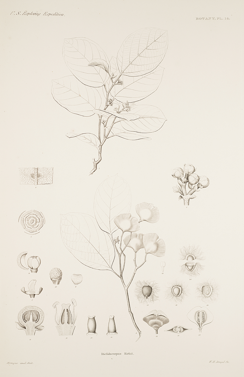 Botany, Pl. 14,  Image number:sil19-23-039b