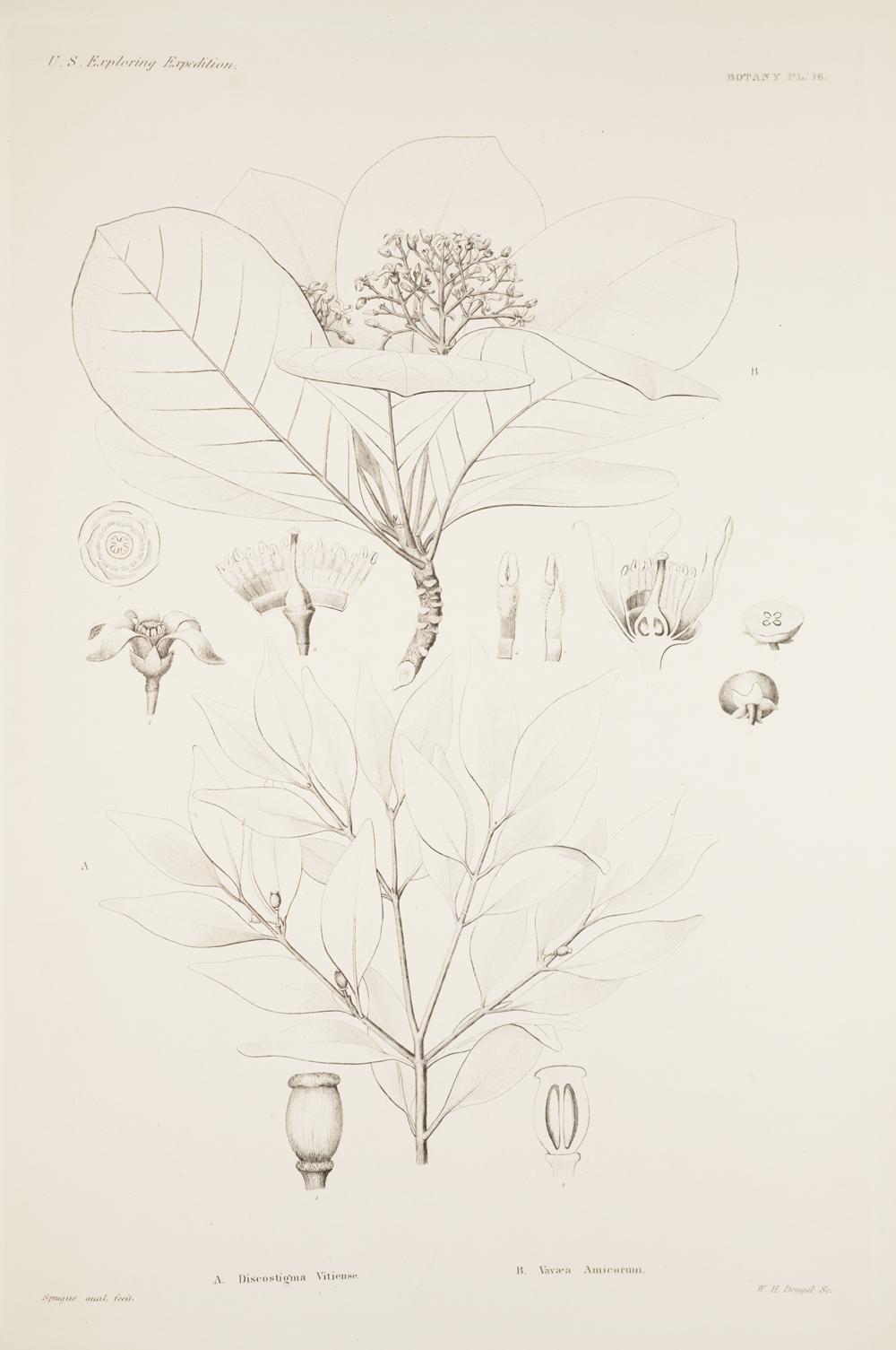Botany, Pl. 16,  Image number:sil19-23-043b