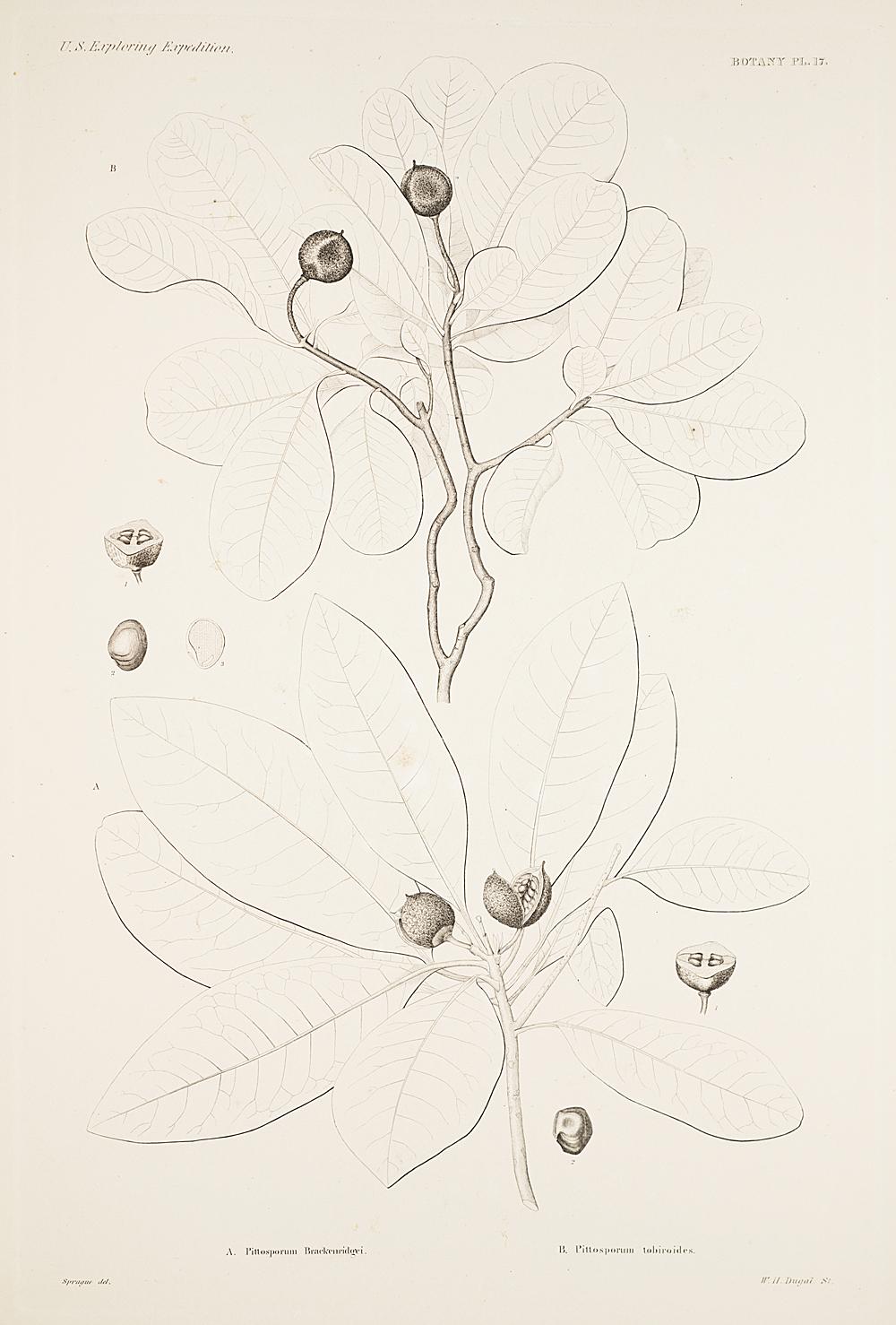 Botany, Pl. 17,  Image number:sil19-23-045b